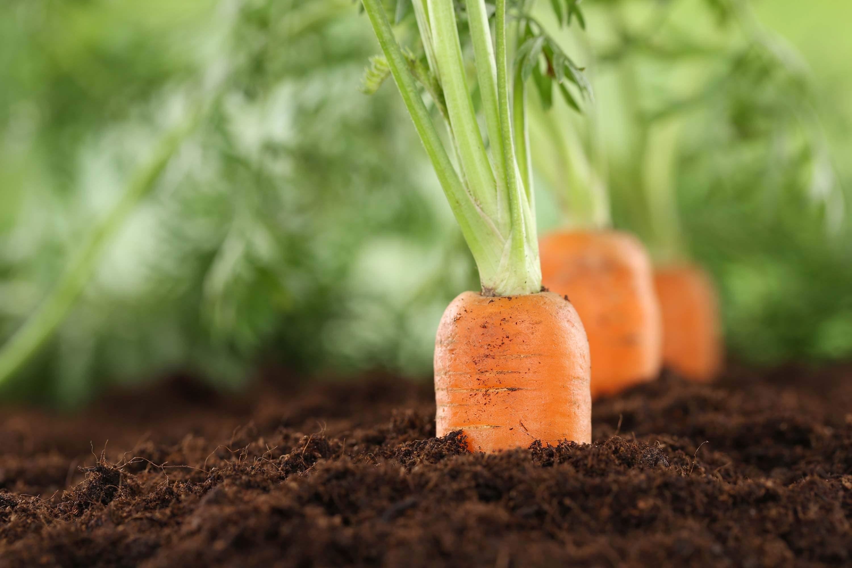 carote_terra_agricoltura_biologica_biologico_forcina